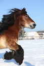 Dutch Draught Horse With Long Mane Running In Snow Stock Photos - 35731253