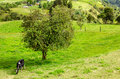 Cow And Tree Royalty Free Stock Photos - 35734098