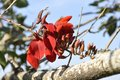 Cockspur Coral Tree (Erythrina Crista-galli) Royalty Free Stock Images - 35742429