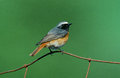 Common Redstart, Phoenicurus Phoenicurus Royalty Free Stock Images - 35747169