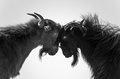Wild Goat Couple Royalty Free Stock Photos - 35784448