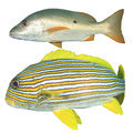 Oriental Sweetlips And Snapper Fish Isolated On White Royalty Free Stock Image - 35829076
