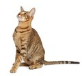 Oriental Cat On White Background Royalty Free Stock Photography - 35877997