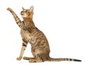 Oriental Cat On White Background Stock Images - 35878034