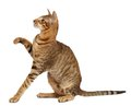 Oriental Cat On White Background Stock Photography - 35878042