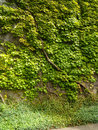 Green Ivy Covering Wall Stock Image - 35878311
