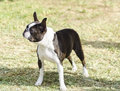 Boston Terrier Royalty Free Stock Photography - 35885077