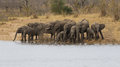 Breeding Herd Of Elephant Drinking Water At A Water Dam Royalty Free Stock Photography - 35899387