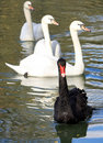 Black Swan Stock Photography - 3595512