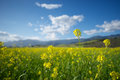 Field Of Mustard Plants Stock Photos - 35908383