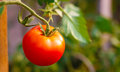 Fresh Red Tomato Royalty Free Stock Images - 35917239
