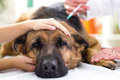 Veterinary Surgeon Is Giving The Vaccine To The Dog German Sheph Royalty Free Stock Photo - 35923795