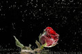 Red Rose In Dew Drops On A Black Background Stock Image - 35944811