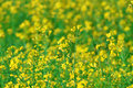 Summer Background: Blooming Canola Royalty Free Stock Images - 35945289
