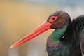 Black Stork Stock Image - 35952491