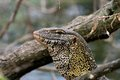 Monitor Lizard In Tanzania Royalty Free Stock Images - 35969999