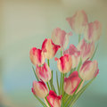 Large Bouquet Of Tulips. EPS 10 Royalty Free Stock Photography - 35986337