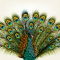 Background With Vector Detailed Peacock On White For Design Royalty Free Stock Image - 36002736