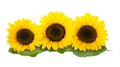 Sunflowers Royalty Free Stock Photography - 36012277