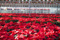 Poinsettias In A Greenhouse Royalty Free Stock Images - 36014419