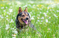 Dog On The Field Royalty Free Stock Images - 36015169