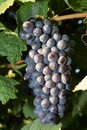 Healthy Ripe Sweet And Juicy Red Wine Grapes. Stock Photography - 36015182