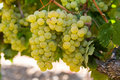 Healthy Ripe Sweet And Juicy White Grapes Royalty Free Stock Photography - 36017197