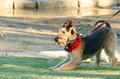 Funny Cheeky Airedale Terrier Dog Ready To Play Stock Photos - 36022063