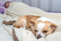 Small Dog Chihuahua Sleeping In Bed Royalty Free Stock Images - 36050039