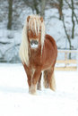Beautiful Chestnut Pony With Long Mane In Winter Stock Photo - 36064640