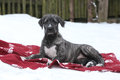 Nice Irish Wolfhound Lying On Blanket In Winter Royalty Free Stock Photography - 36065077
