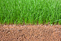 Newly Sown Grass Seed Showing Roots In The Soil Royalty Free Stock Images - 36065159