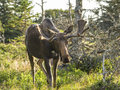 Moose Standing In A Field Royalty Free Stock Images - 36075809