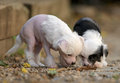 Chinese Crested Puppies Stock Photo - 36077170