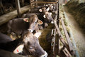 Young Calves Lying On Hay Stock Photos - 36093093