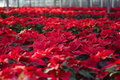 Poinsettias In A Greenhouse Royalty Free Stock Image - 36093646