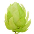 Close Up Of Hop Flower Stock Images - 36113424