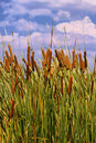 HDR Image Of Cattails (Typha Orientalis) Stock Photo - 36129400