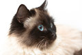 Head Siamese Cat Close Up On A White Background Royalty Free Stock Photo - 36144055