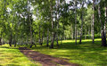 Birch Grove Stock Image - 36152361