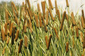 Cattails (Typha Orientalis) Royalty Free Stock Photography - 36155607