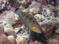 Tail-spot Wrasse Stock Photo - 36157430