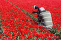 Man Making Photos In Red Tulip Field Stock Photography - 36158512