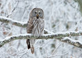 Great Grey Owl Strix Nebulosa Perched On A Tree Stock Photography - 36159092