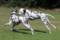Two Dalmatians Running In The Park Stock Image - 36165111