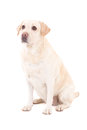 Young Beautiful Dog (golden Retriever) Sitting Isolated On White Royalty Free Stock Image - 36175226