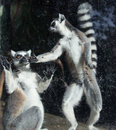 Ring-tailed Lemur (Lemur Catta) Royalty Free Stock Photo - 36178445