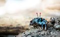 Fiddler Crab Royalty Free Stock Photos - 36212418