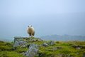 Sheep In Grassland Royalty Free Stock Photography - 36243317