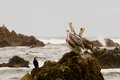 Pelicans On Rock Stock Image - 36246771